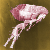 Flea (Yersinia Pestis Bacterium Carrier) (Photo: Courtesy Janice Haney Carr)